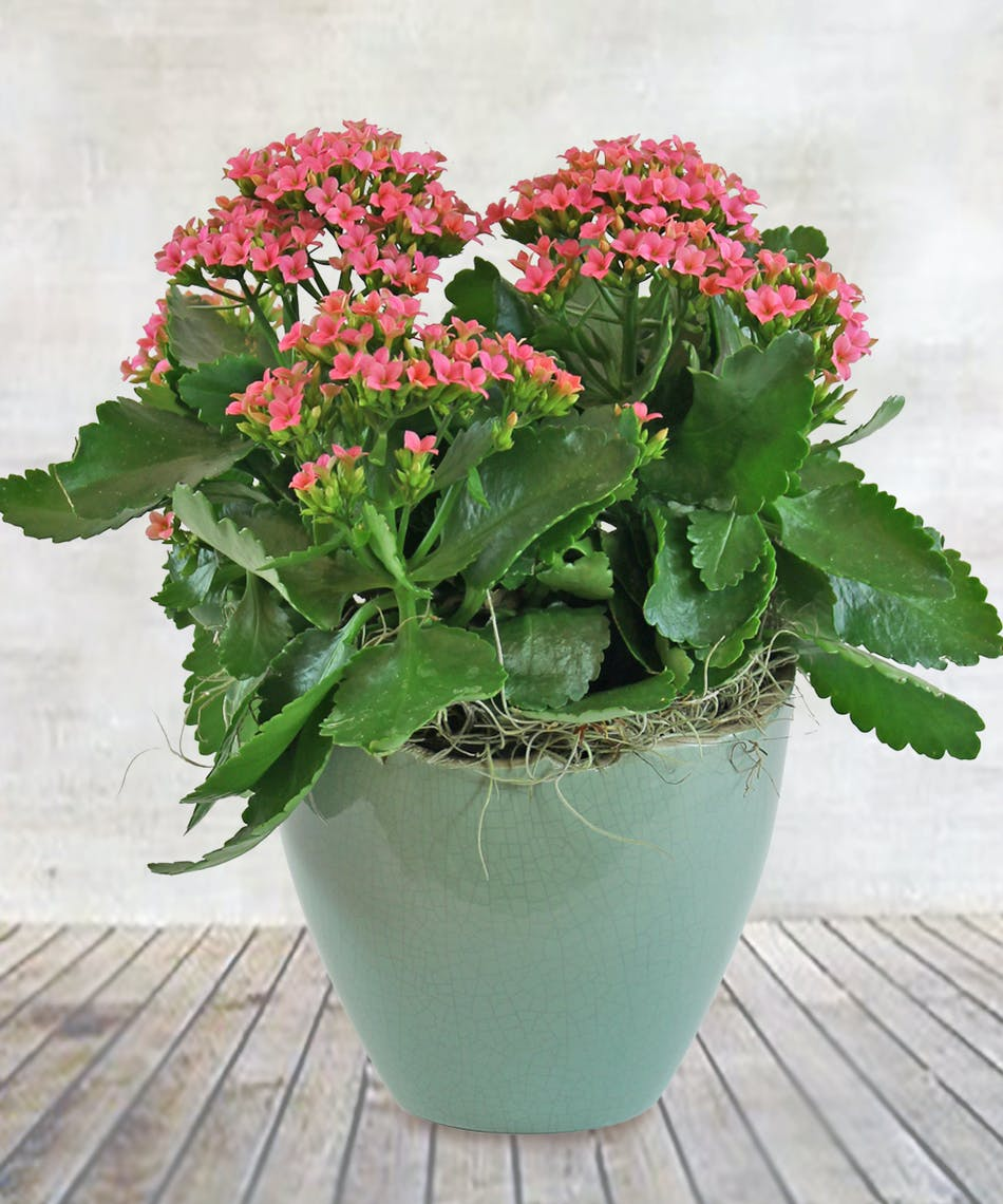 Cheerful Celebrations Kalanchoe 6 Pink Kalanchoe Plant