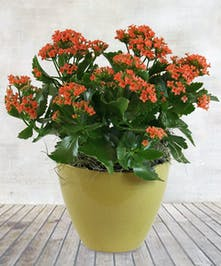 """6"""" Orange Kalanchoe Plant"""