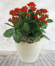 "6"" Red Kalanchoe Plant"