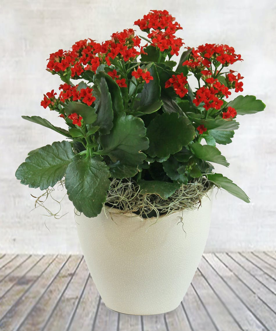 Captivating Kalanchoe 6 Red Kalanchoe Plant Veldkamp S Flowers