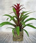 Tropical Beauty Bromeliad Plant