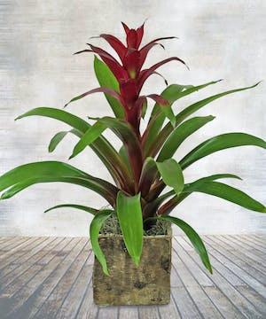 Fuchsia Bromeliad Plant