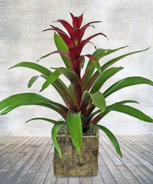 Tropical Beauty Bromeliad Plant