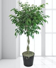 Green Floor Plant