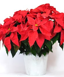 Colorado Grown Christmas Poinsettias
