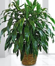 "14"" Green Plant"