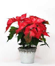 Colorado Grown Holiday Poinsettia Plants