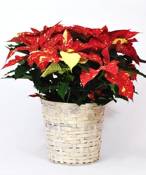 Colorado Grown Christmas Poinsettias