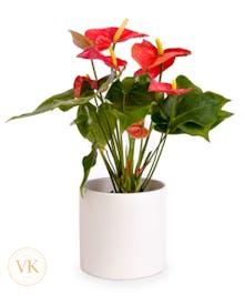 """6"""" Anthurium Plant"""