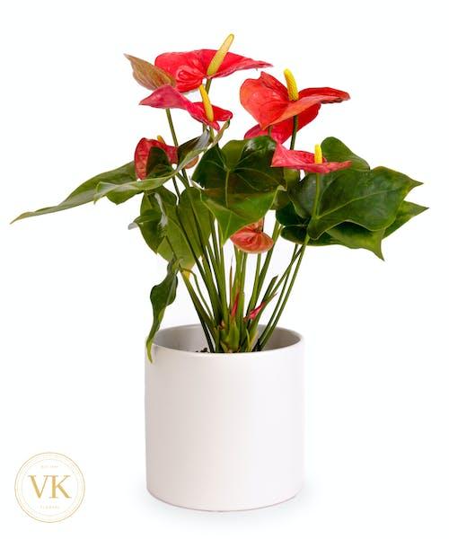 Ruby Red Anthurium
