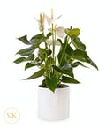 Soft White Anthurium