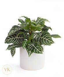 Aphelandra Squarrosa Plant