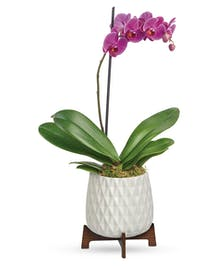 Modern Orchid Plant