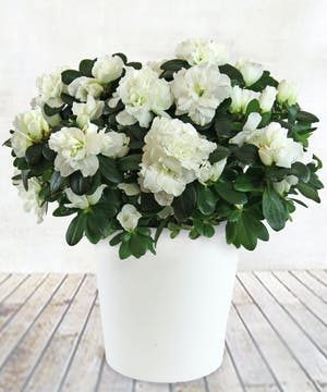 "6"" White Azalea Plant"