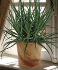 Blue Elf Aloe Vera Plant