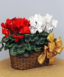 "6"" Cyclamen in a Peanut Basket"