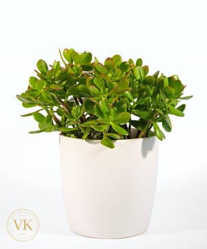Crassula Ovata Plant