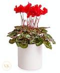 Elegant Red Cyclamen Plant