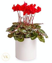 "6"" Red Cyclamen Plant"