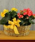 Double Begonia Basket