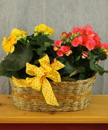 Double Begonia Basket