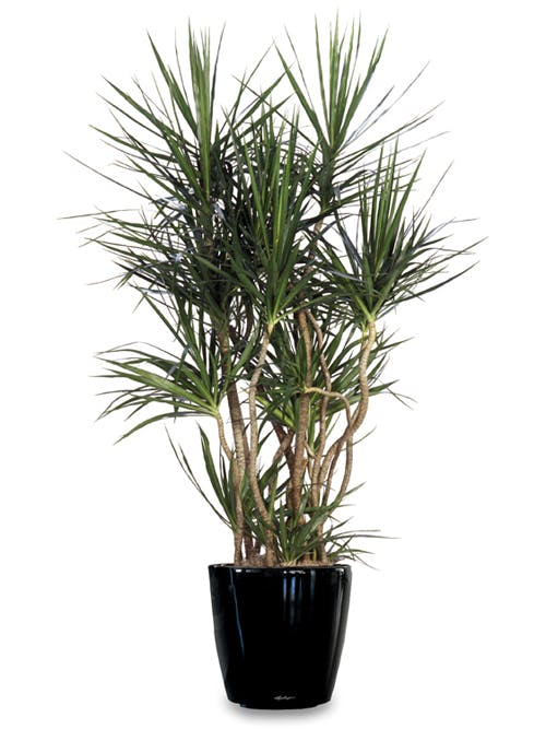 Marginata dracaena - a worthy decoration for home and office 50