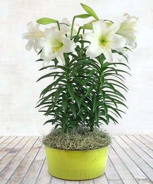 "6"" Easter Lily"