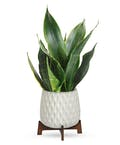 Growing Art Sansevieria Plant