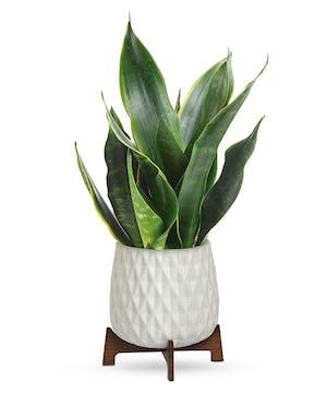 Modern Sansevieria Plant