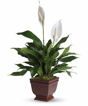 Lovely Spathiphyllum Plant
