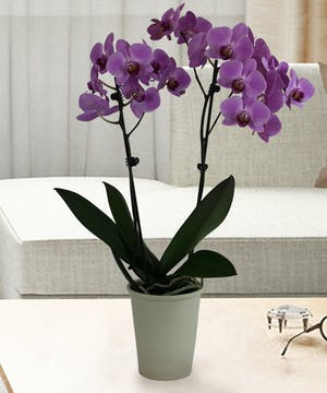 A stunning lavender orchid plant
