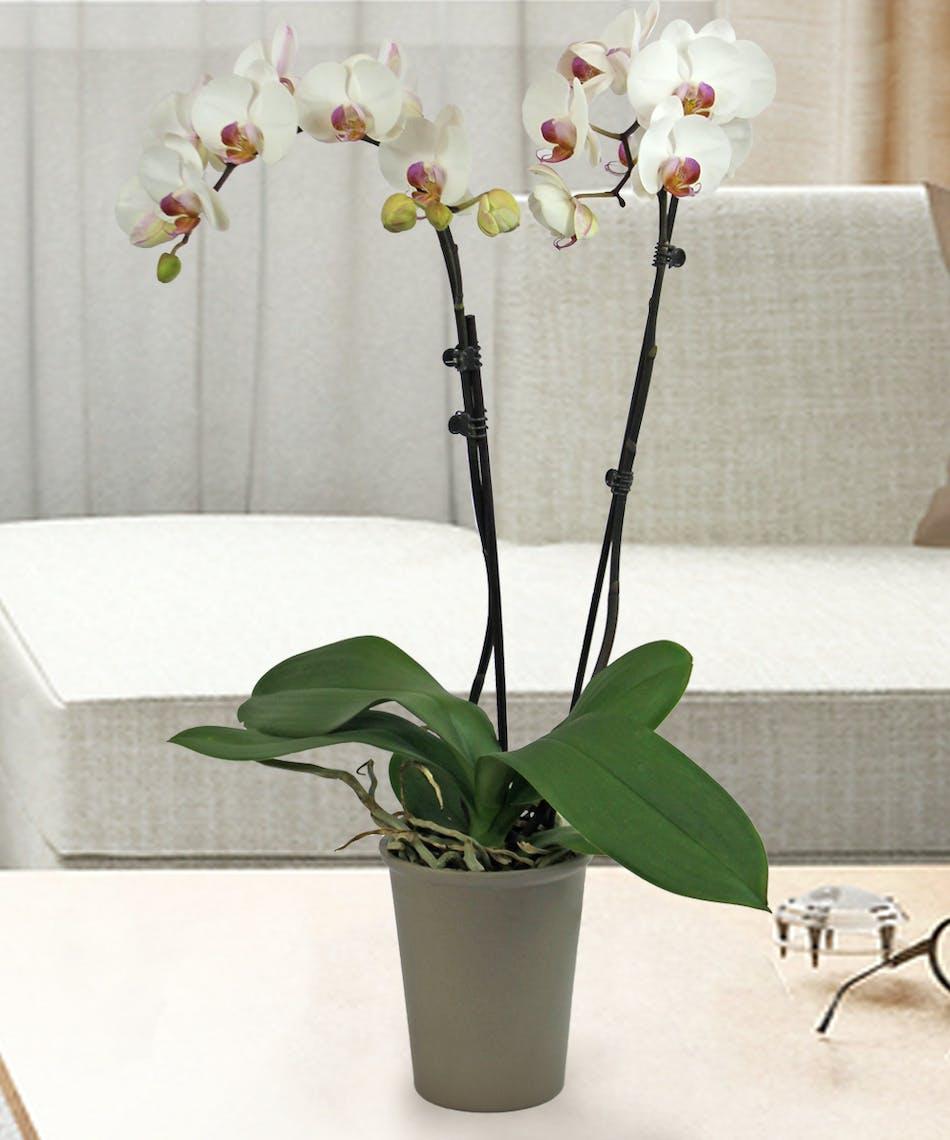 Phalaenopsis Orchids in Denver, Colorado | Veldkamps Flowers