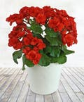 Radiant Red Begonia Plant