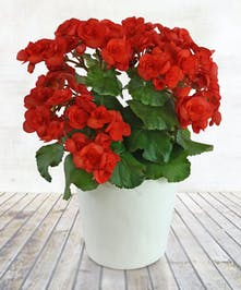 "6"" Begonia Plant"