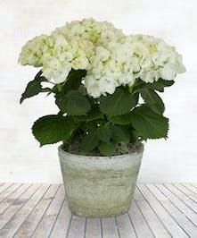 "6"" Hydrangea Plant"