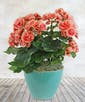 Charming Coral Begonia Plant