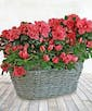Double Delight Azalea Planter