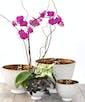 Elegant Orchid Garden - Deluxe
